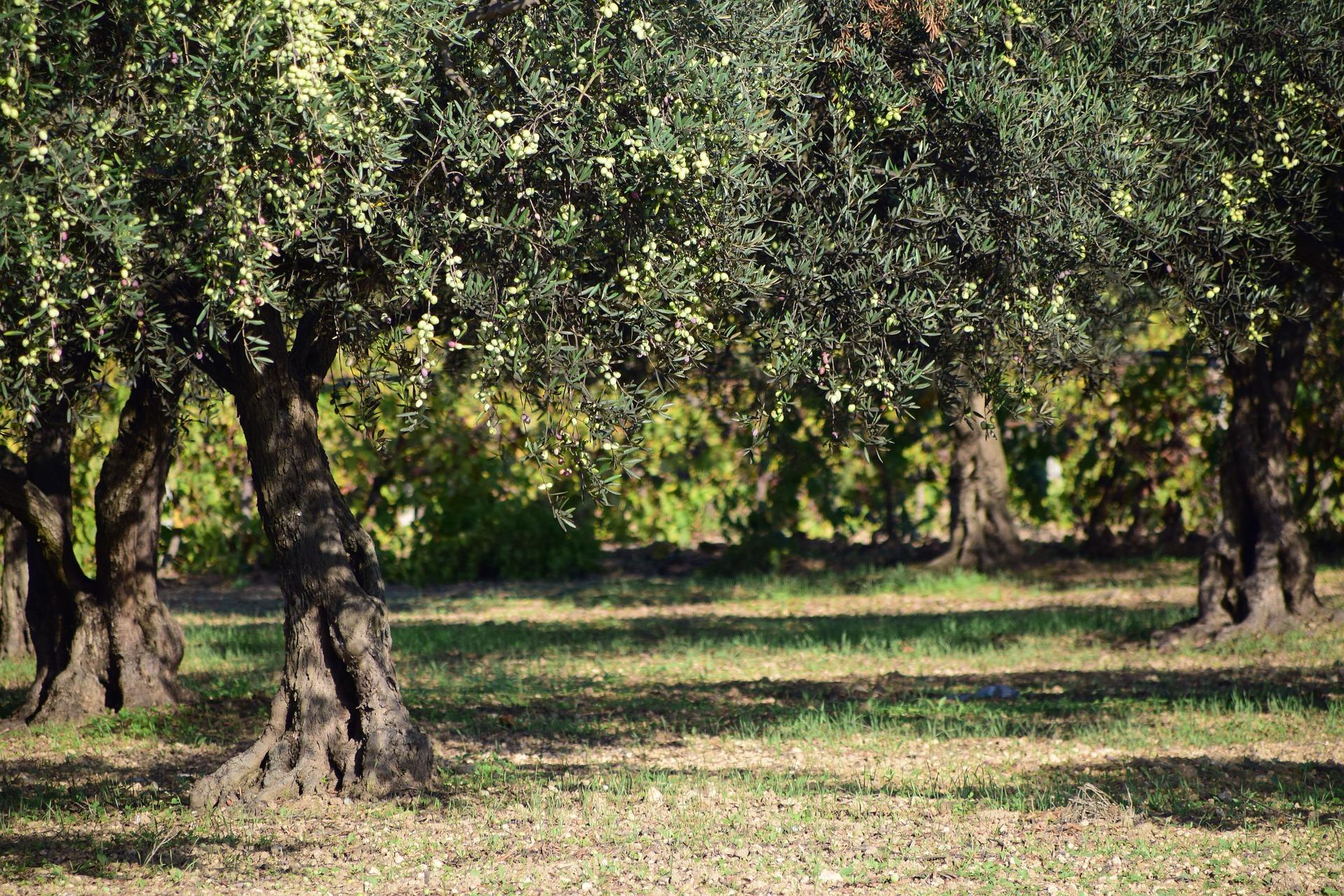 concimazione dell'oliva