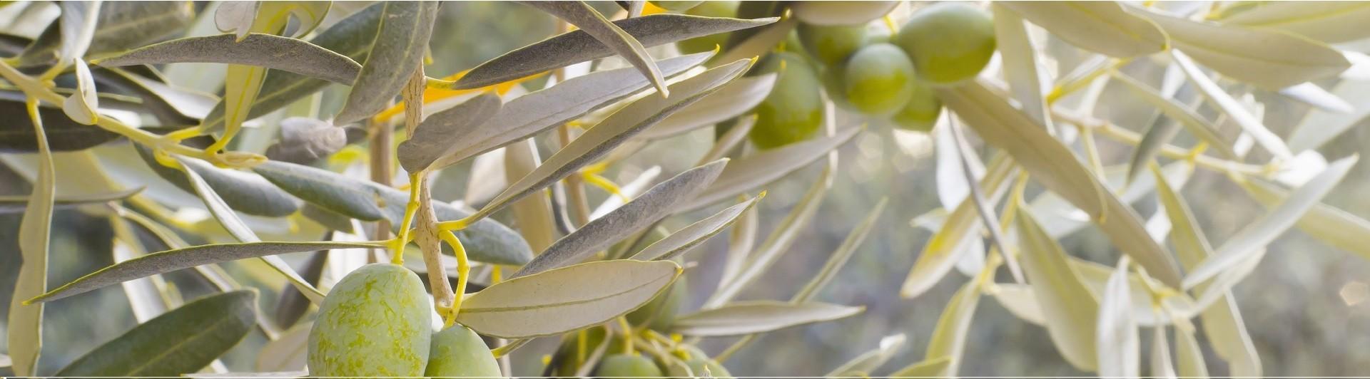 Bollettino settimanale sulla mosca dell'olivo